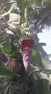 Life's Banana Tree