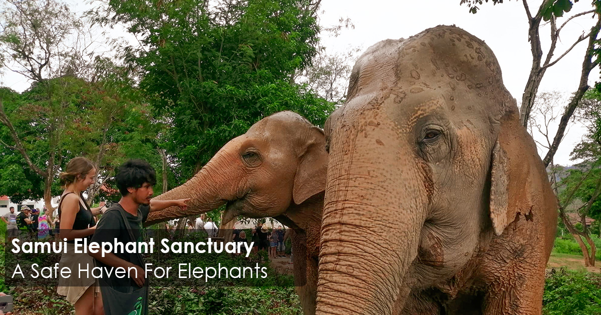 Samui Elephant Sanctuary - A Safe Haven For Elephants